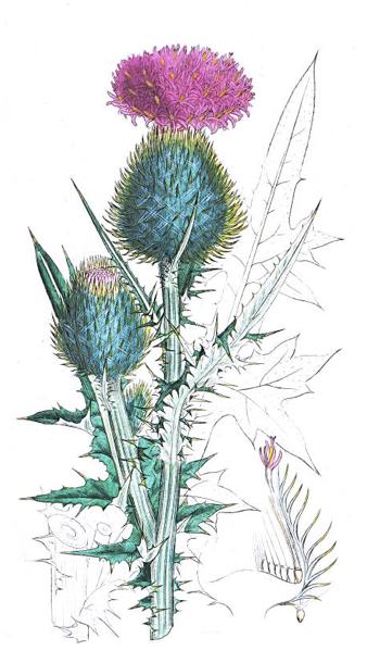 Amarilis, čičak, gujina trava, orlova kandža