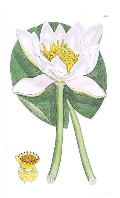 Beli vodeni ljiljan, lotus, jasmin